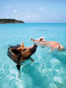 Swimming-Pigs